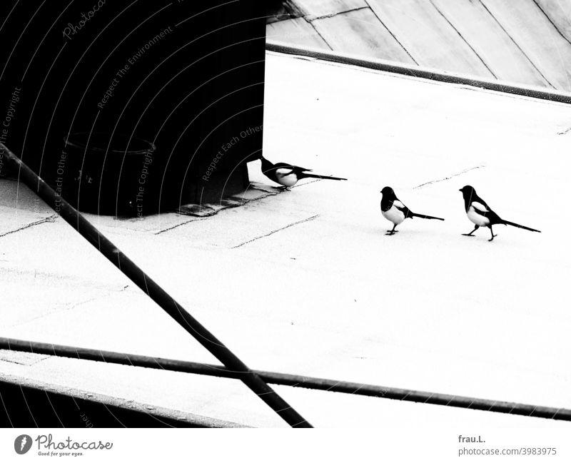 Drei Elstern im Winter Rabenvogel Wildvogel Vogel Tier Natur Dach Raureif aktiv neugierig Gerüst Klug intelligent