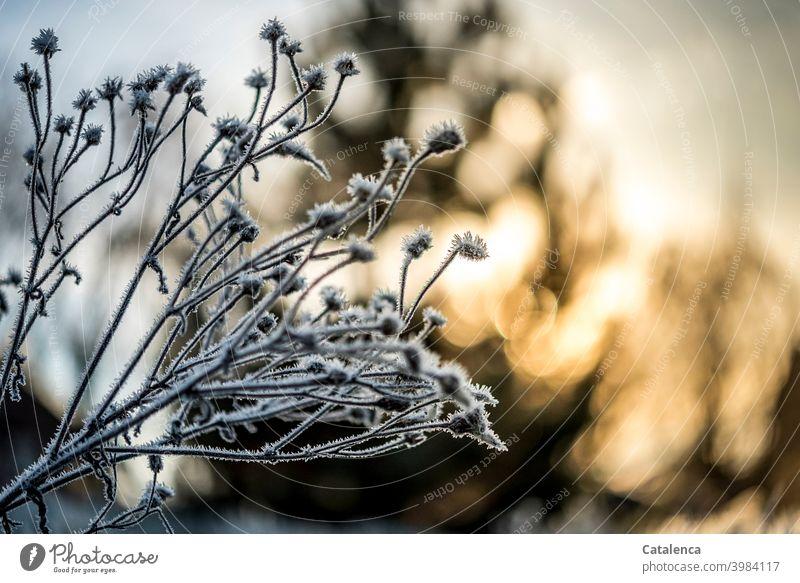Mit Frost überzogene Blütenstände im Vordergrund, Im Hintergrund geht die Sonne unter Natur Jahreszeit Winter Eis Kälte Pflanze Blume Baum Himmel Sonnenlicht