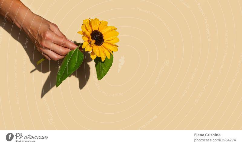 Eine Sonnenblumenblüte in einer weiblichen Hand auf einem beigen pastellfarbenen Hintergrund. Kopierraum. Blume Textfreiraum Hände gelb geblümt Blüte Sommer