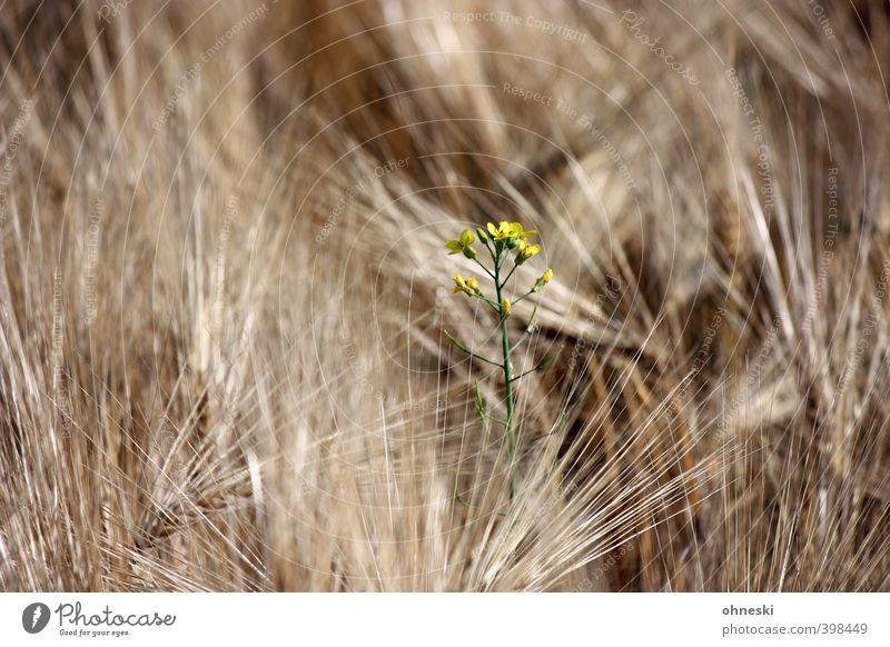 Undercover Sommer Pflanze Blume Leben Gerste Gerstenfeld Gerstenähre