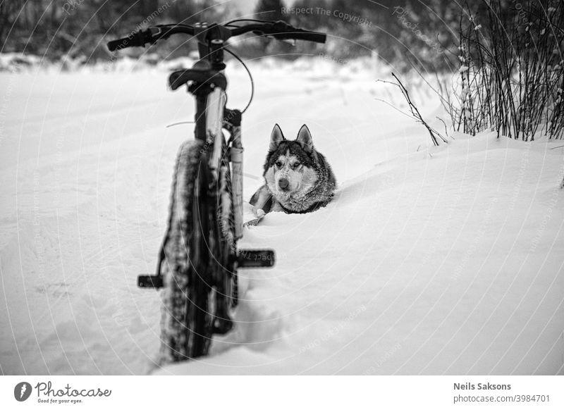 Husky und Fahrrad / nirgendwo anders kann man hingehen Schnee ist zu tief / Moment der Entspannung Tiere Winter schön Eckzahn Konkurrenz durchkreuzen Hund