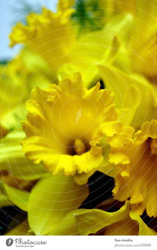 Osterglocken-Details Blume gelb Blüte Blumenstrauß