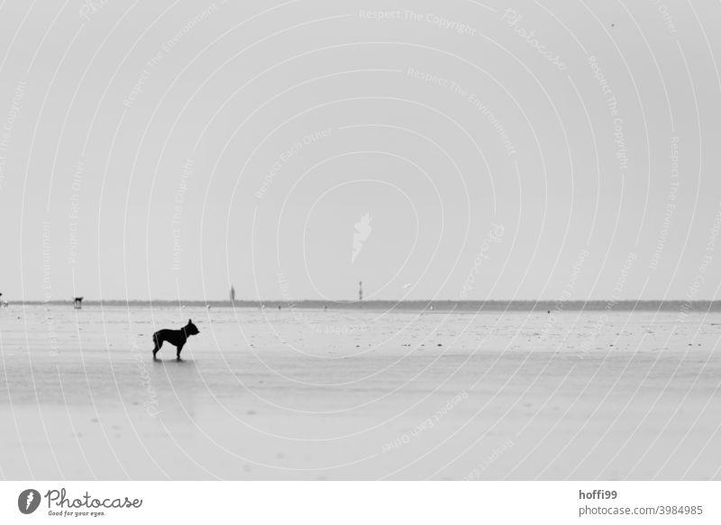 der Hund steht im Watt und weiß nicht weiter - die Flut kommt gleich .... Wattenmeer Ebbe minimalistisch Minimalismus Nordsee Meer Küste Wasser Ferne Strand