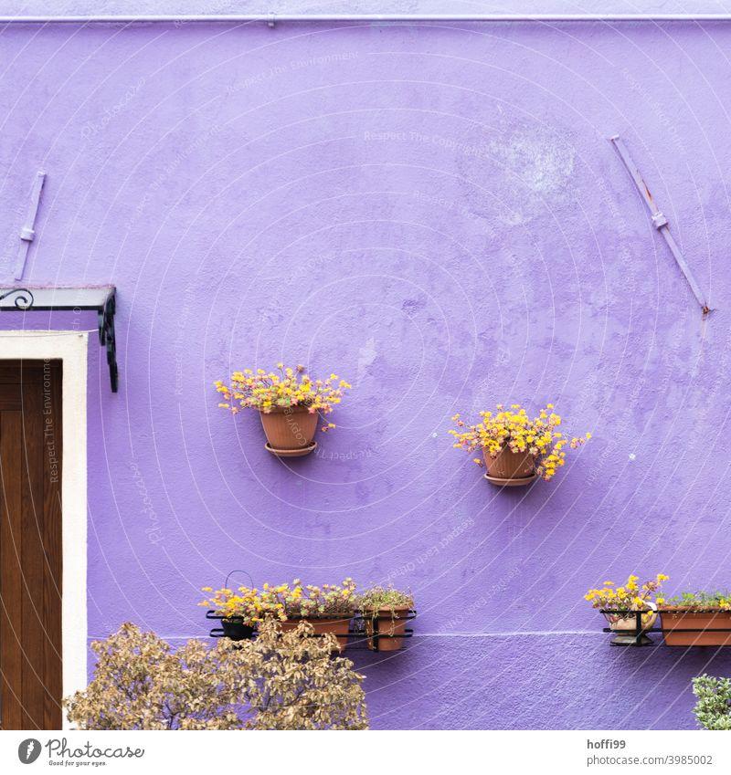 Blumentöpfe an einer lila Wand in der Altstadt von Venedig Pflanze hängen Mauer Haus Fassade Dorf alt Häusliches Leben Tür farbenfroh Farbenfrohe Gebäude