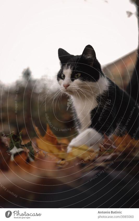 Vertikale Aufnahme einer Katze, die im Herbst vorsichtig über nasse Blätter läuft und dabei einen lustigen Gesichtsausdruck macht Spaß pelzig laufende Katze