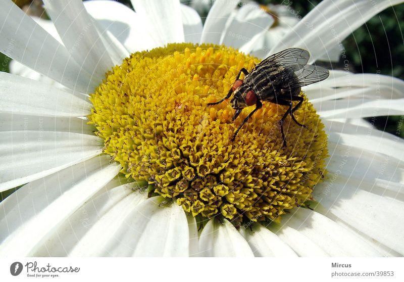 eine stubenfliege findet auch was..... Blume Sommer Tier Blüte fliegen Insekt Biene