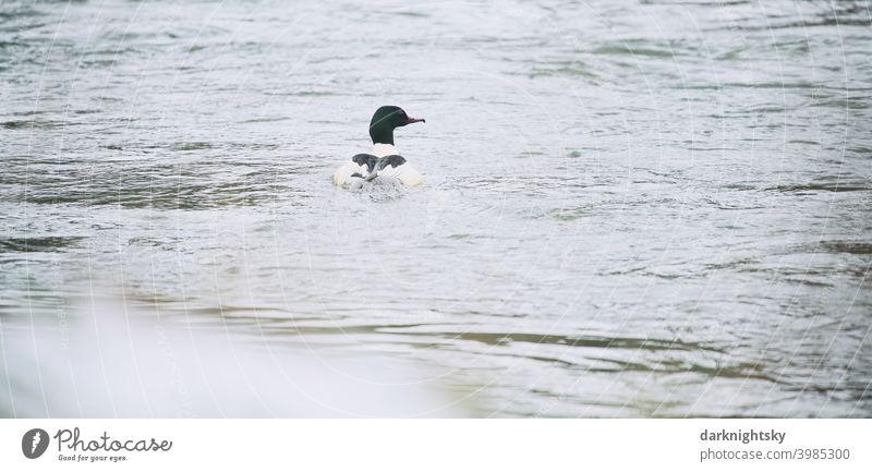 Einzelner Gänsesäger, Mergus merganser, Erpel auf einem Fluss mit Wellengang Merganser erpel Ente Vogel Tier Feder Natur Schnabel Farbfoto Außenaufnahme Wasser