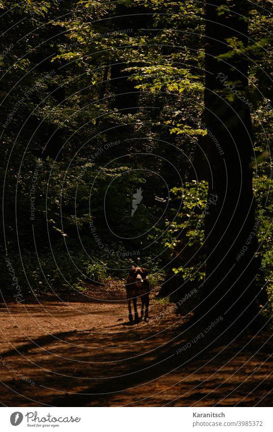 Ein Hund spaziert durch einen Wald. Weg Waldweg Pfad spazieren Tier Haustier Säugetier Baum Bäume Baumstämme Laubwald Blätter grün braun Sommer Sonne Abendsonne