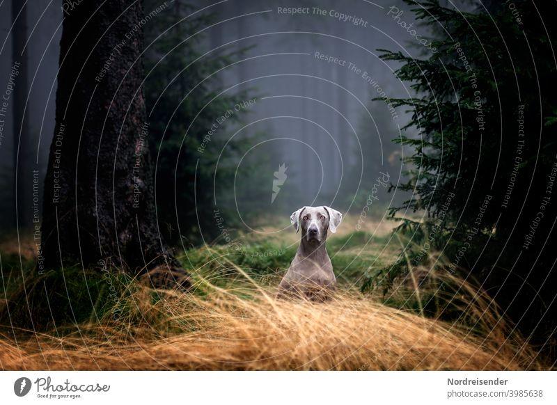 Weimaraner Jagdhund in einem nebligen Wald wartet auf Abruf weimaraner vorstehhund wald jagdhund nebel regen spannung geheimnisvoll baum bäume revier jagdrevier