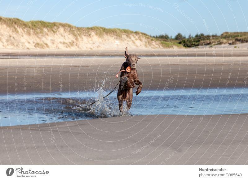 Junger Weimaraner Jagdhund tobt und spielt am Strand strand ostsee weimaraner jagdhund vorstehhund wasser nordsee baden urlaub schwimmen lernen erkunden wellen