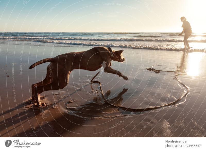 Junger Weimaraner Jagdhund tobt und spielt am Strand strand ostsee weimaraner jagdhund vorstehhund wasser nordsee baden frauchen mensch urlaub schwimmen lernen
