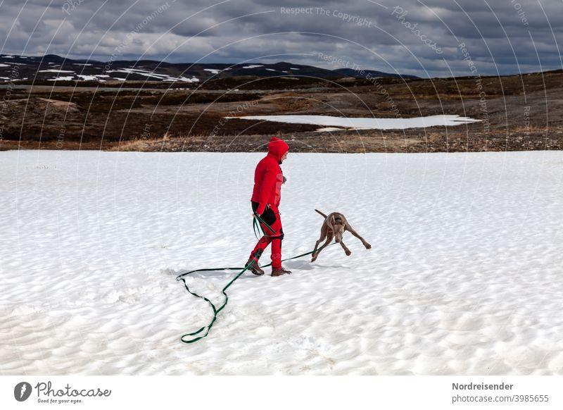 Weimaraner Welpe tobt und spielt im Schnee hund weimaraner frau person schnee winter gebirge vorstehhund wandern unterwegs ausbildung jagd welpe junghund fell
