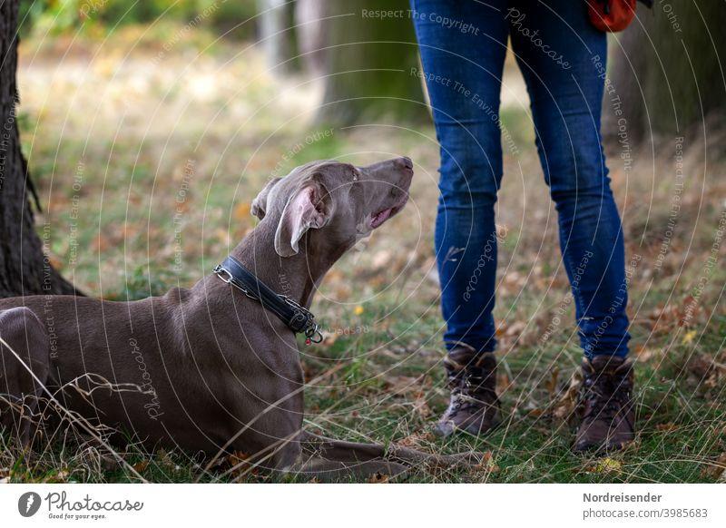Junger Weimaraner Jagdhund bei der Hundeschule im Wald weimaraner person wald vorstehhund jagdhund wandern unterwegs jagdausbildung gehorsam lernen welpe