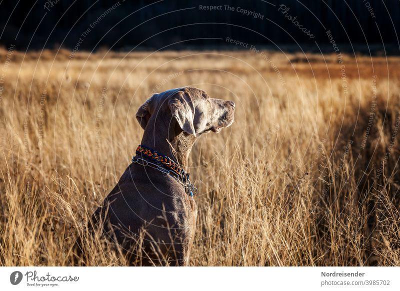 Junger Weimaraner Jagdhund genießt die Abendsonne weimaraner jagdhund vorstehhund wald erkunden freund bester freund stolz glanz fell tarnung frühling