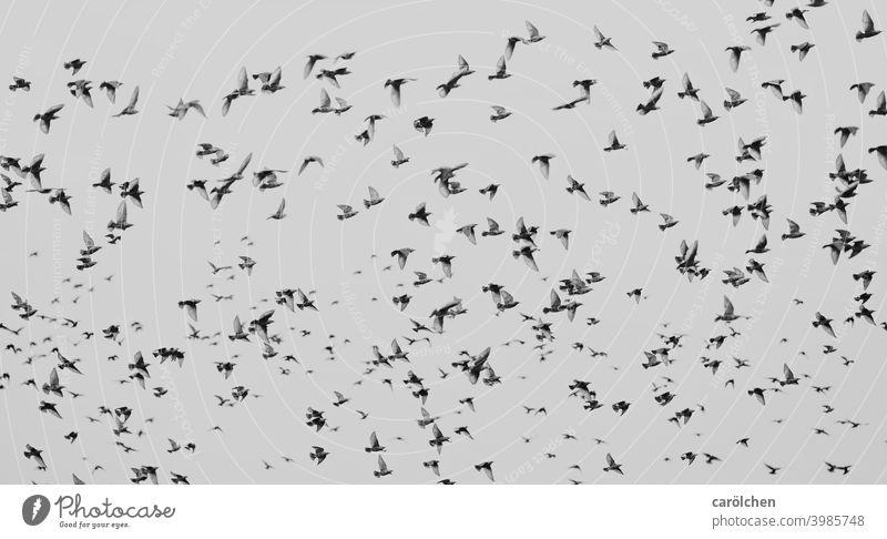 Vogelschwarm Staren viele Vögel Schwarm Schwarzweißfoto Schwarmintelligenz Schwarmverhalten fliegen