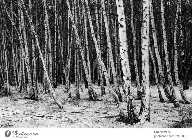 Strukturierte Birken | Winterwald Winterlandschaft Schneelandschaft Landschaft Wintertag Winterstimmung Außenaufnahme weiß Bäume Menschenleer Wald Natur kalt