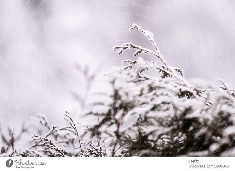 eine schneebedeckte Thujahecke an einem grauen Wintertag Thujazweige grauer Wintertag heimisch Lebensbaum winterlich wintergrau Winterimpression Winterkälte