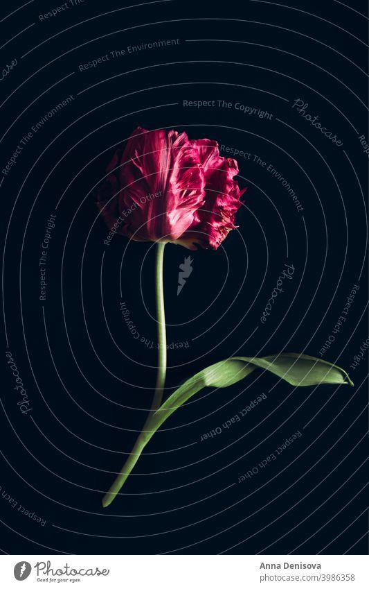 Strauß Pfingstrose Stil Tulpe Tag Haufen Blume Blumenstrauß purpur rosa Natur Frühling grün Muttertag 8. März schön Farbe Blüte Postkarte Sommer rot Geschenk