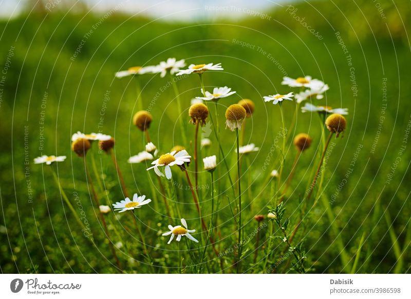 Kamillenblüten Nahaufnahme. Blossom Feld im Sommer Tag Blume Pflanze Echte Kamille grün schön Gänseblümchen Schönheit weiß Hintergrund Natur gelb Frühling Kraut