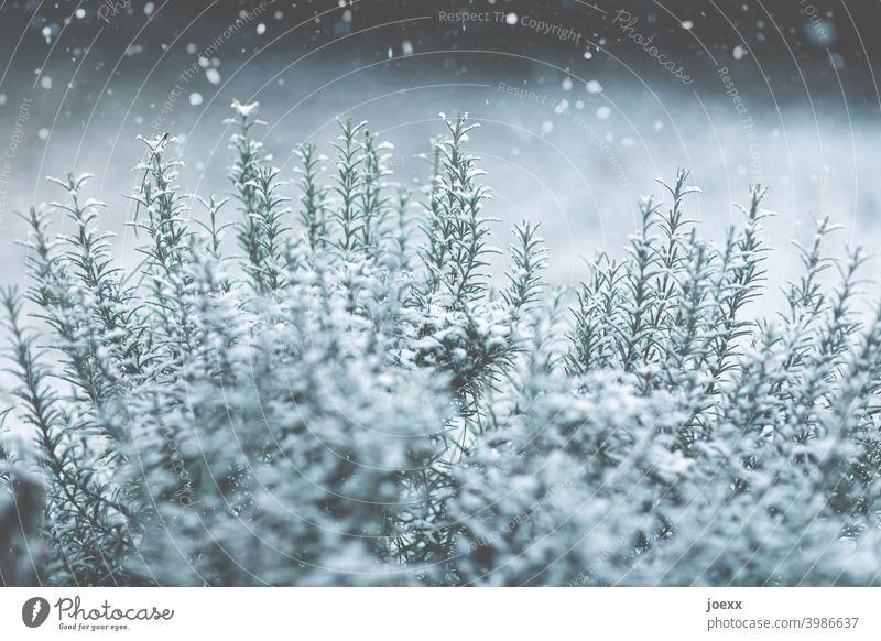 Mediterraner Rosmarin-Kräuterstrauch leicht von Schnee bedeckt Rosmarinus officinalis Winter Flocken grün weiß Schneefall kalt Kälte schwache Schärfentiefe