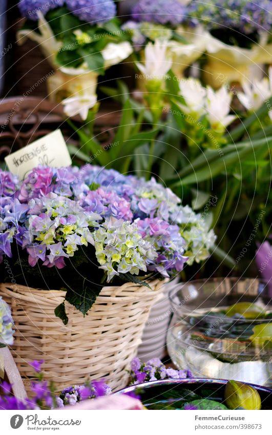 Hortensie. Natur blau Sommer Pflanze Blume Blatt Frühling Blüte Garten Schönes Wetter Dekoration & Verzierung Geschenk violett Balkon Duft Korb