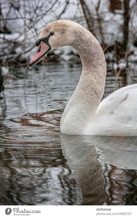 Junger Schwan im Winter auf dem Wasser Vogel Natur natürlich kalt weiß Tier Feder Schnabel elegant Stolz ästhetisch Jungschwan Flügel Hals langer Hals