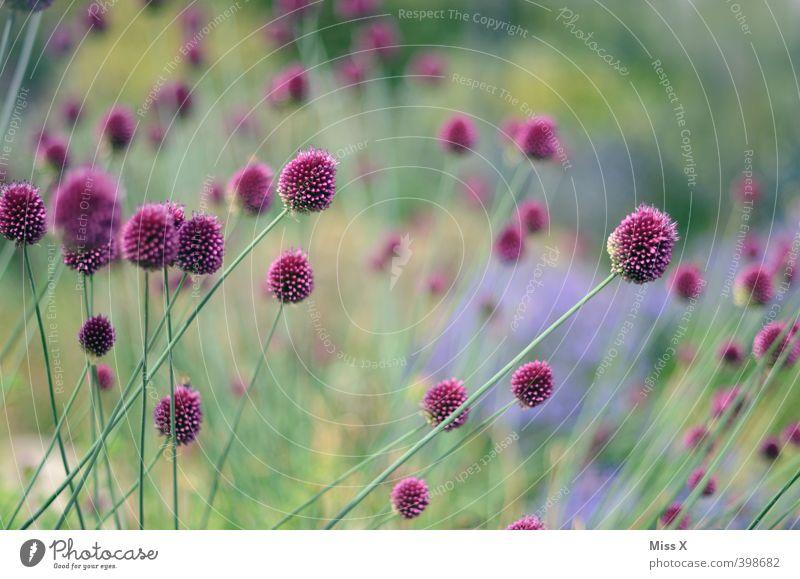 Lila Blumen Pflanze Frühling Sommer Blüte Garten Blühend Duft Wachstum grün violett Zierlauch Farbfoto mehrfarbig Außenaufnahme Nahaufnahme Menschenleer
