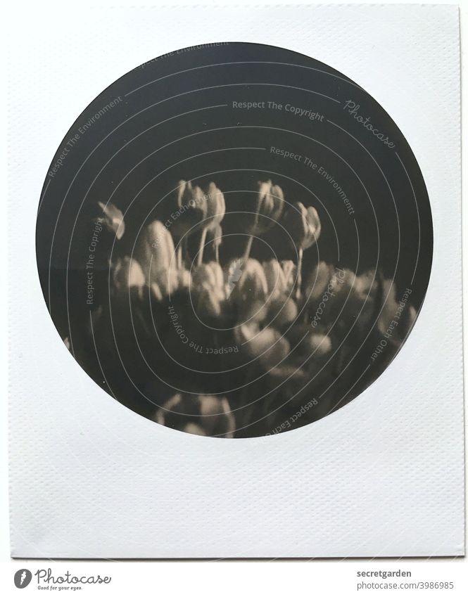 Analoge Karfreitagsstimmung hält sich im Rahmen. Tulpen Schwarzweißfoto Polaroid rund Menschenleer Blumenstrauß Blüte schön düster Nahaufnahme Blühend Geschenk