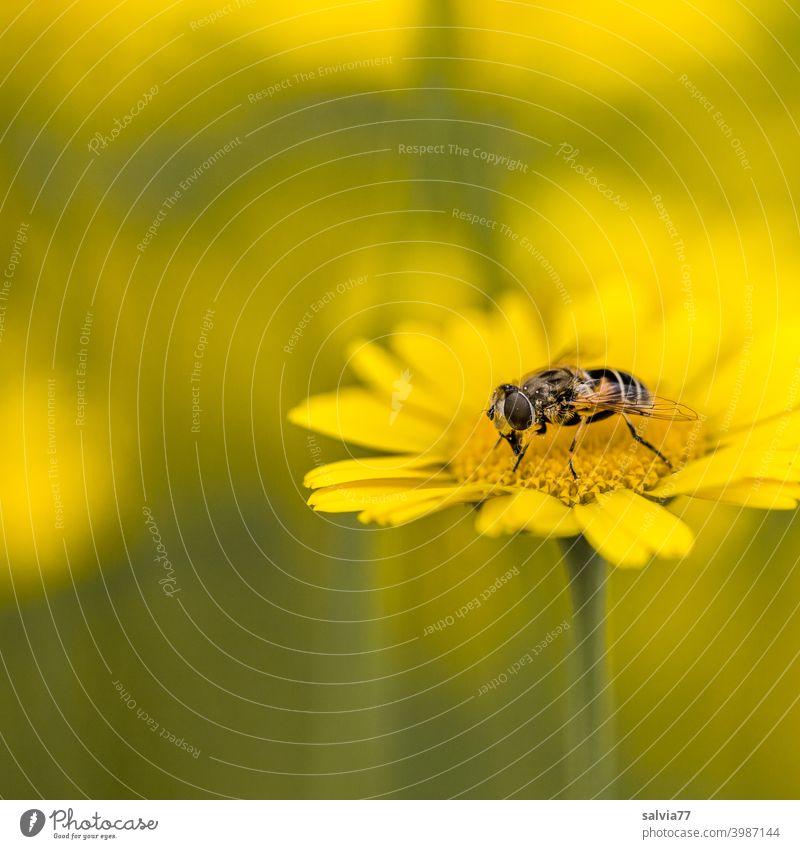 Blumenwiese in gelb Natur Insektenschutz Tier Färberkamille Schwebefliege Pflanze Blüte Farbfoto Schwache Tiefenschärfe Sommer Makroaufnahme Pollen Blühend