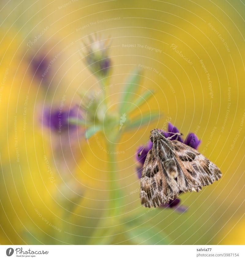 Blumenwiese mit Schmetterling gelb violett Malven-Dickkopffalter Natur Sommer blühen Wiese Blüte Blühend Malvengewächse Schwache Tiefenschärfe Makroaufnahme