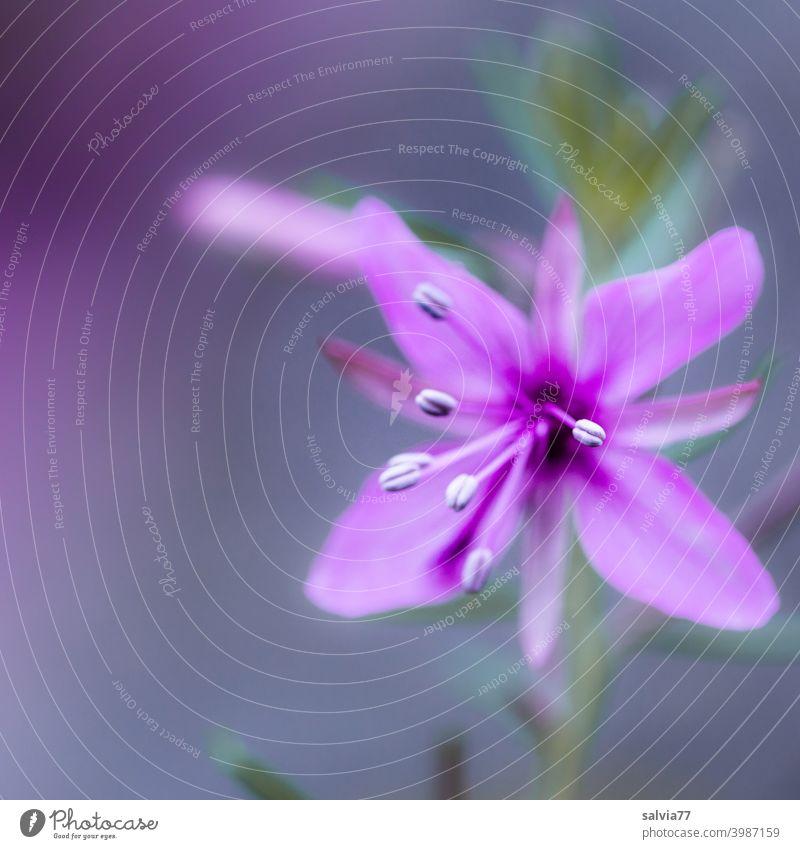 Blüte in zartem lila vor grauem Hintergrund und schwacher Tiefenschärfe Blume Frühling Schwache Tiefenschärfe Detailaufnahme Makroaufnahme Nahaufnahme Blühend