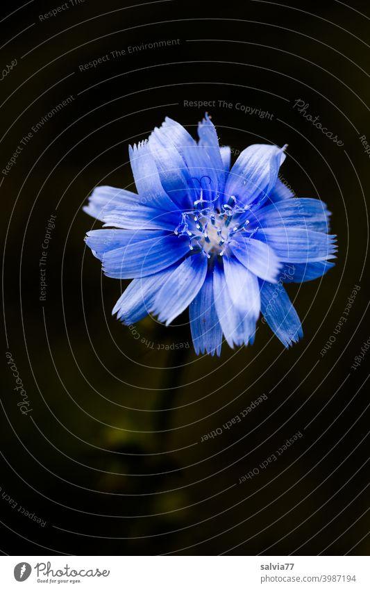 blaue Blüte vor schwarzem Hintergrund Blume Wegwarte Zichorie Cichorium Kontrast Freisteller Natur Hintergrund neutral Pflanze Makroaufnahme Duft Blühend