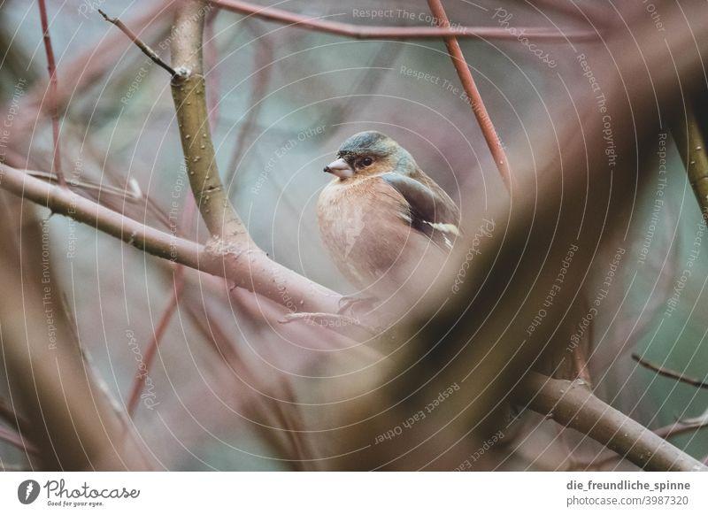 Buchfink auf Ast Vogel fliegen Frühling Tier Außenaufnahme Natur blau Feder Garten klein Nahaufnahme Winter Schnabel wild schön Tierwelt Singvogel Ornithologie