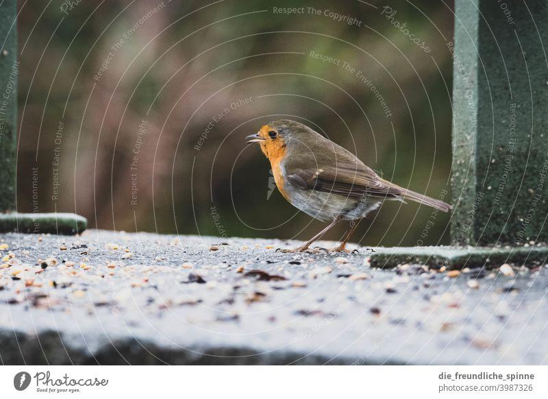Rotkehlchen am fressen Vogel fliegen Frühling Ast Tier Außenaufnahme Natur blau Feder Garten klein Nahaufnahme Winter Schnabel wild schön Tierwelt Singvogel