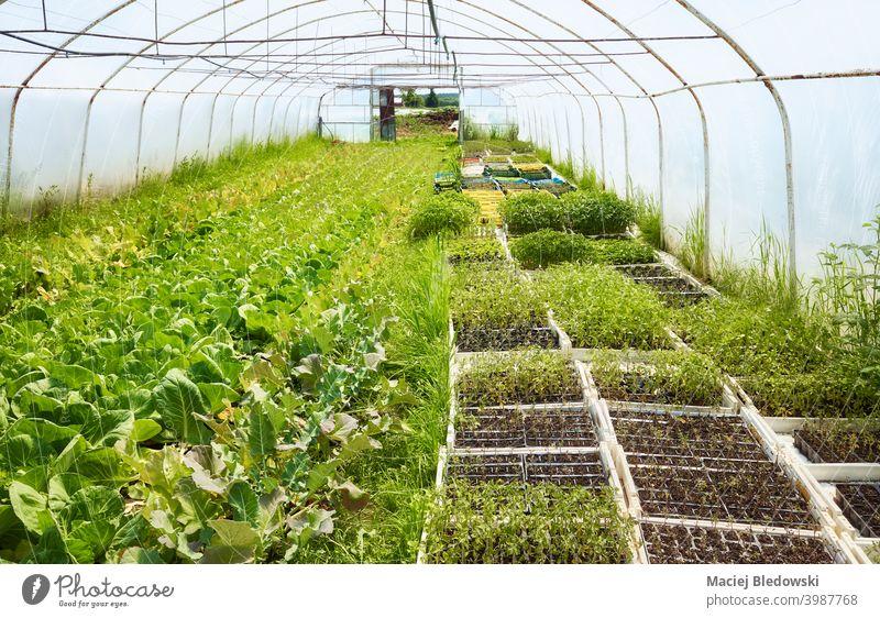 Innenraum eines alten Gewächshauses mit biologischem Gemüseanbau. organisch Bauernhof Keimling Ackerbau grün Gartenarbeit Innenbereich niemand ländlich