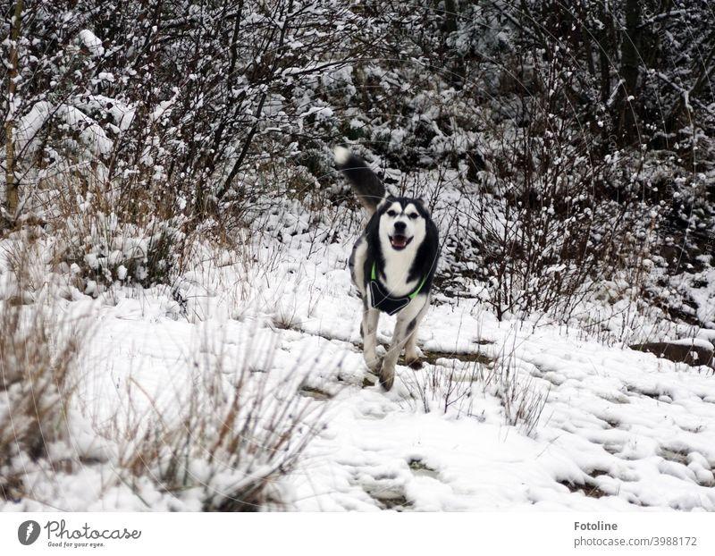 Die Husky-Dame Alice genießt ihren freien Auslauf im Schnee Hund Tier Winter kalt weiß Außenaufnahme Natur Haustier Frost Eis Landschaft Farbfoto Tag
