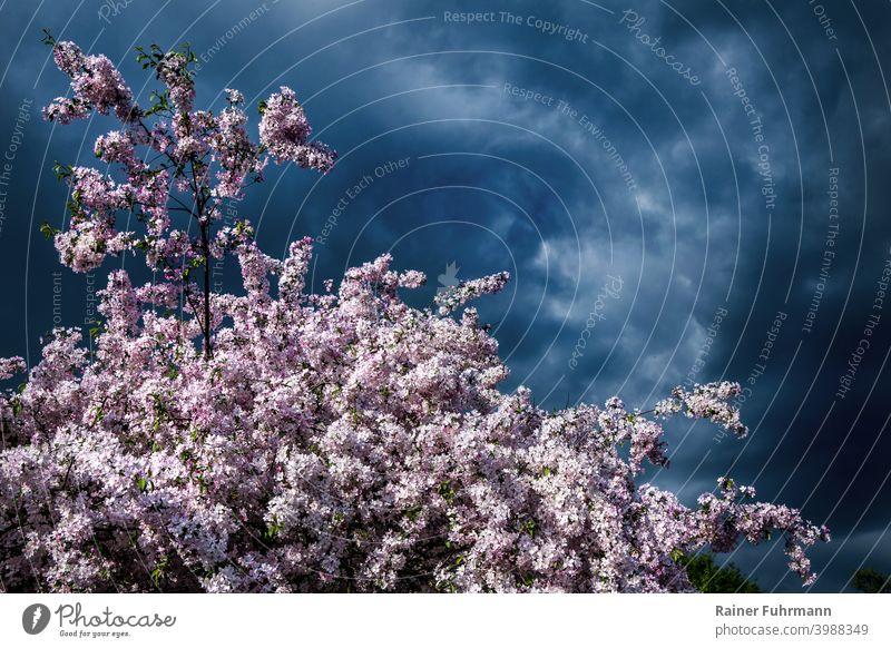 Ein Obstbaum steht in voller Blüte. Im Hintergrund sind starke Gewitterwolken zu sehen. Obstbaumblüte Baumblüte Wetter Wetterbericht Risiko Landwirtschaft Natur