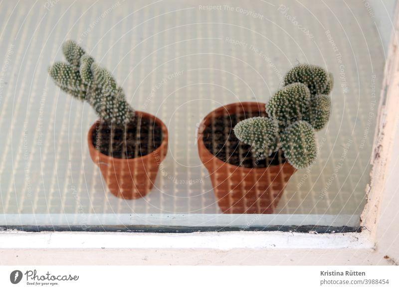 zwei kleine kakteen hinter sicherheitsglas kaktus topfplanzen zimmerpflanzen grünpflanzen blumentöpfe fensterscheibe schaufenster stacheln dornen spitz