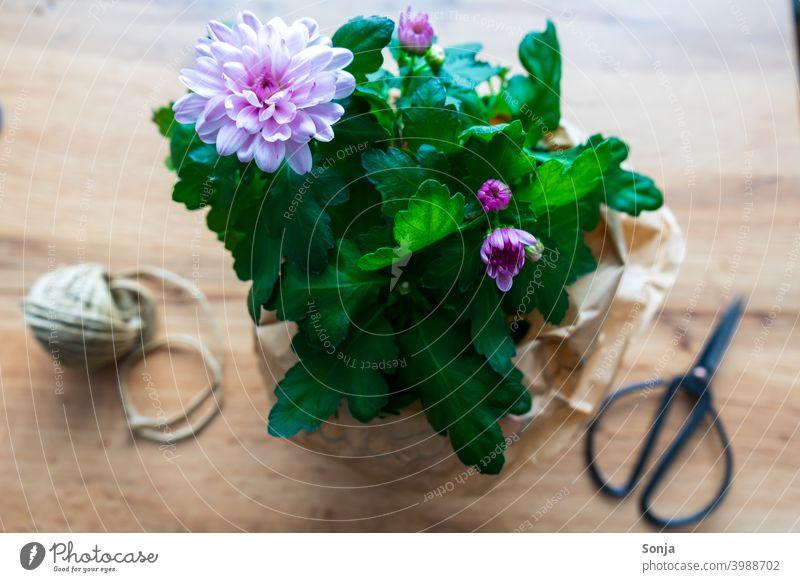 Ein Blumentopf mit Schere und Schnur auf einem Holztisch rosa Blüte einpacken Blatt Dekoration & Verzierung Pflanze Farbfoto Frühling Draufsicht Blühend Tag