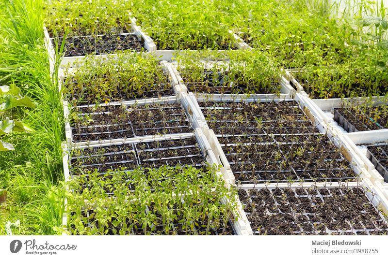 Setzlinge in Kisten auf dem Bio-Gemüsehof. Bauernhof organisch Keimling Natur Wachstum Pflanze Landwirtschaft Ackerbau Garten Gartenarbeit grün natürlich
