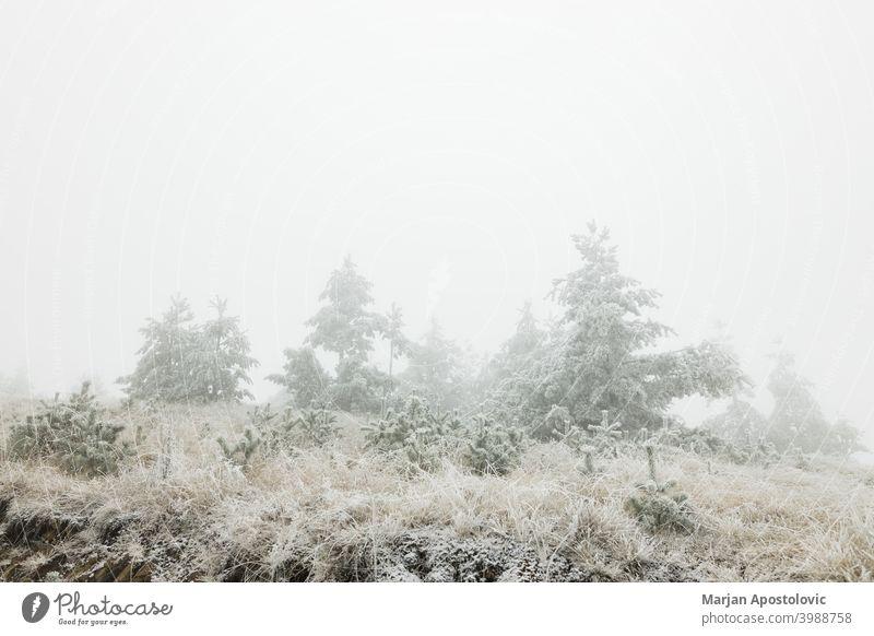 Kiefernwald in den Bergen an einem frostigen Wintermorgen kalt Morgendämmerung Immergrün Tanne Nebel neblig Wald frieren Frost Raureif eisig idyllisch