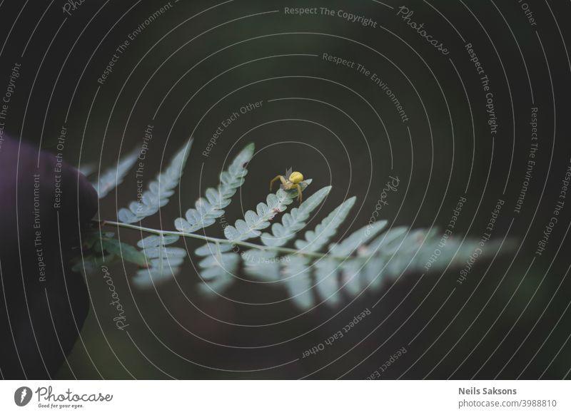 winzige gelbe Spinne auf Farnblatt Hintergrund schön Schönheit Biologie botanisch Botanik Ast Haufen Buchse dekorativ Detailaufnahme Umwelt exotisch Wurmfarn