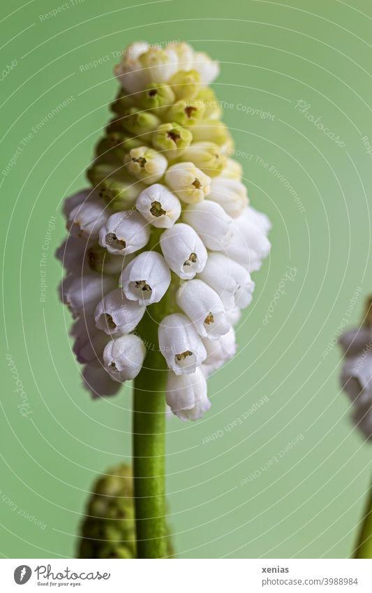 Weiße Traubenhyazinthe vor grünem Hintergrund Blüte Frühlingsblume weiß Pflanze blühend Blume Hyazinthe Frühlingsgefühle romantisch Frühlingsfarbe