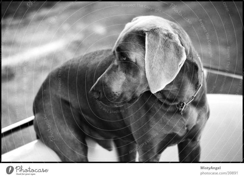 sitz Hund sitzen außergewöhnlich Weimaraner