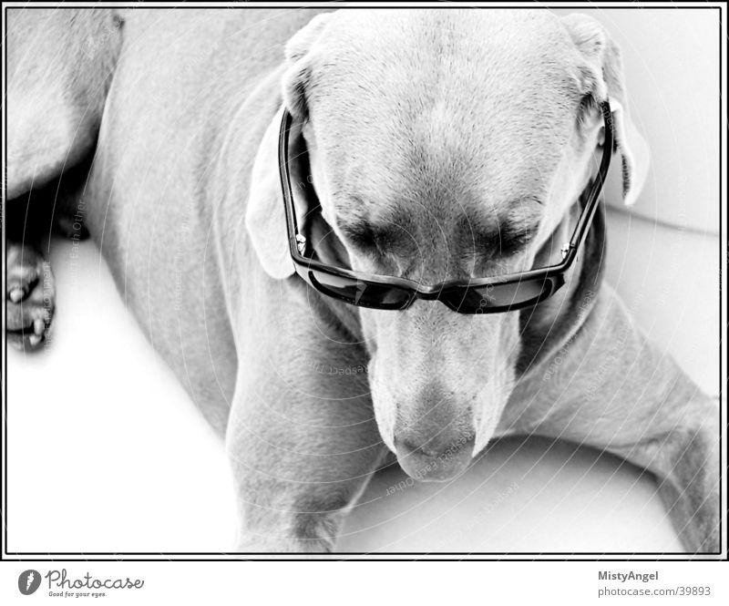 .. is it cos i'm cool .. Hund Weimaraner Sonnenbrille Brille Schwarzweißfoto Nahaufnahme
