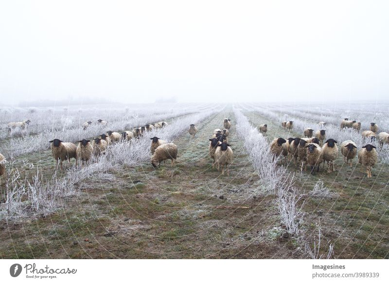Unkrautbekämpfung mit Schafen. Weidetiere, Schafherde in einer Plantage von Aronia-Sträuchern, Apfelbeerfrüchten. Eisregen Sturm mit Nebel in der frostigen Winterlandschaft