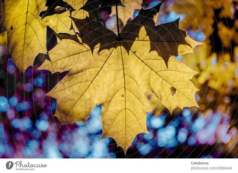 Ahornblätter im Herbst Natur Flora Pflanze Baum Blatt Ahornblatt Jahreszeit Himmel Tag Tageslicht herbstlich Wandel & Veränderung verwelken Vergänglichkeit Gelb