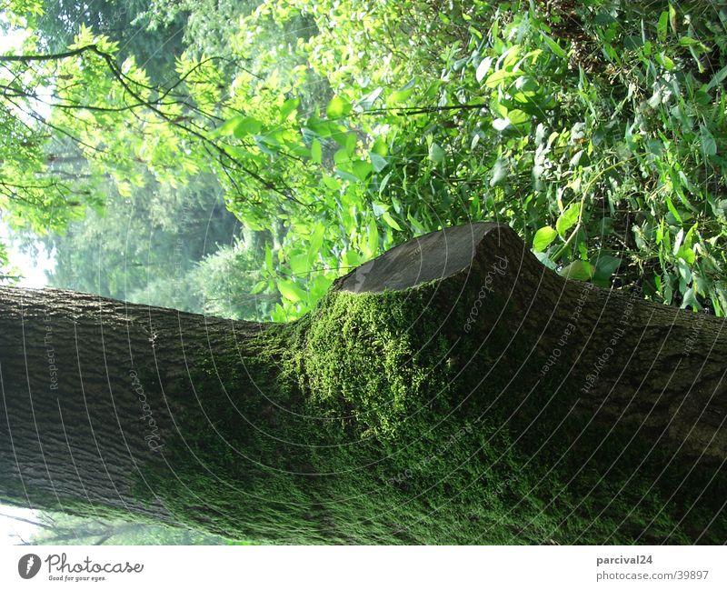 Baum mit Moos Natur grün Sommer Blatt Landschaft Baumstamm