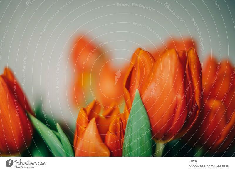 Nahaufnahme roter Tulpenblüten Blüten Blumen Frühling schön Blumenstrauß blühend