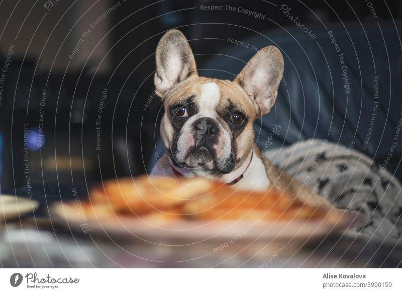 Frühstück mit französischer Bulldogge Frühstückszeit französische Bulldogge Hund Tier Haustier Farbfoto niedlich beobachten Blick